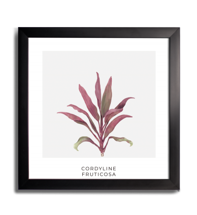 PLANTA CORDYLINE