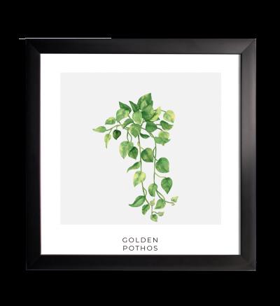 PLANTA GOLDEN