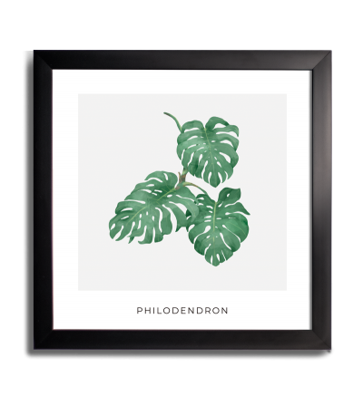 PLANTA PHILONDENDRON